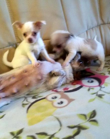 belles Chihuahuas - Photo 2