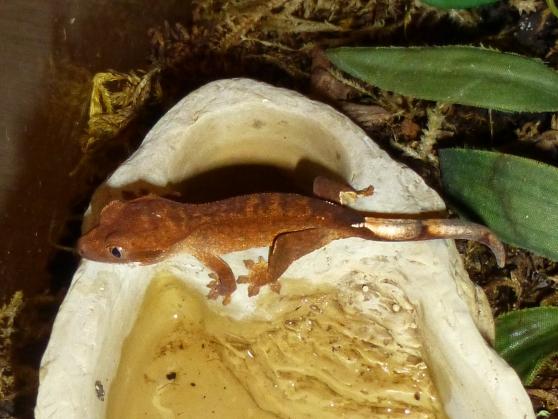 Annonce occasion, vente ou achat 'Correlophus ciliatus geckos à crêtes'