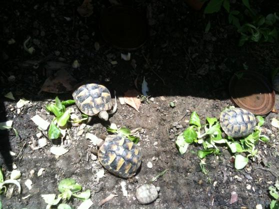 Annonce occasion, vente ou achat 'BB tortue de terre HH - bébés'