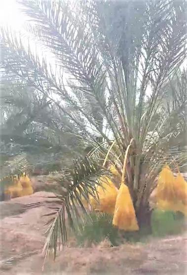 Grand jardin de palmiers dattiers