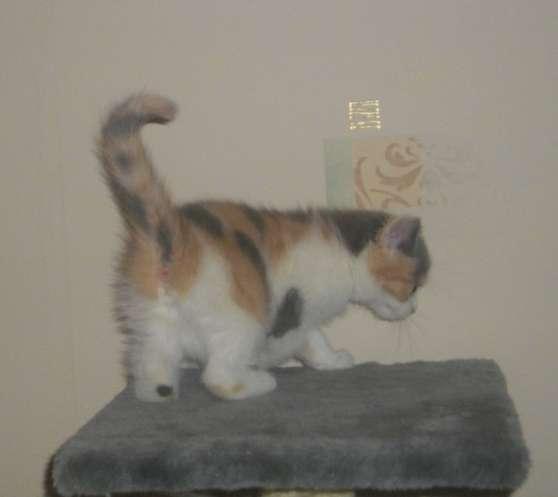 petite chatonne persanne exotic