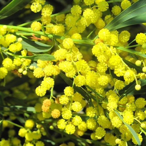 Annonce occasion, vente ou achat 'mimosa 4 saison'