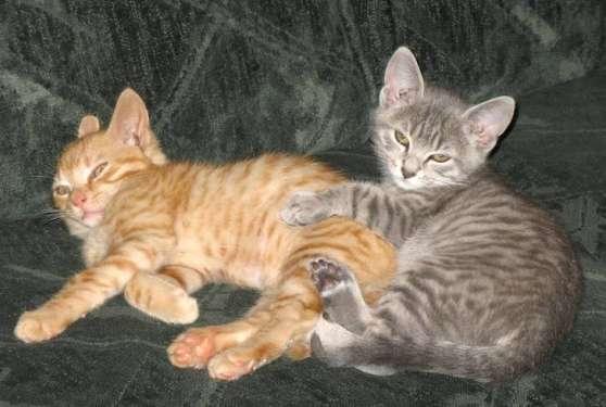 Deux jolies chatons bengal - Marche.fr