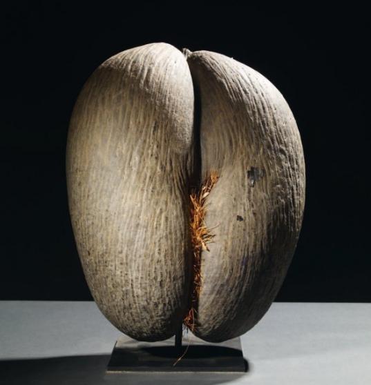 Coco fesse ou coco de mer