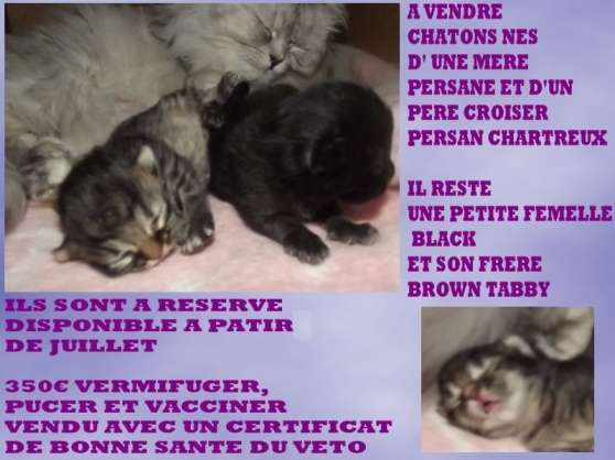chatons persan black et brown tabby