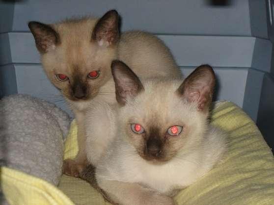Rare et adorable chaton tonkinois pour a