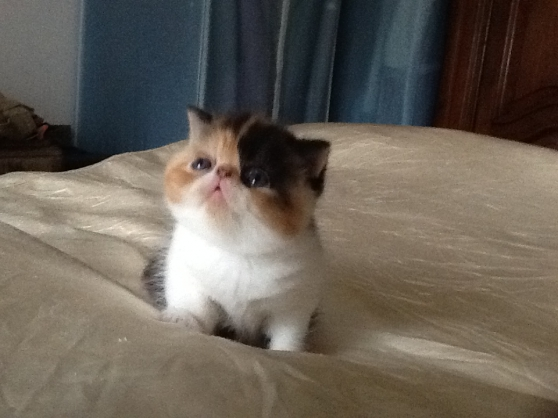 CHATONS EXOTIC SHORTHAIR LOOF DISPONIBLE