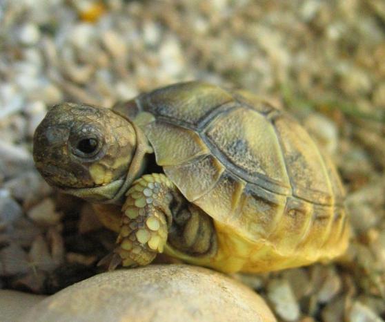 tortue (corse )