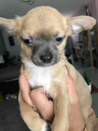 Annonce occasion, vente ou achat 'chiots chihuahua'