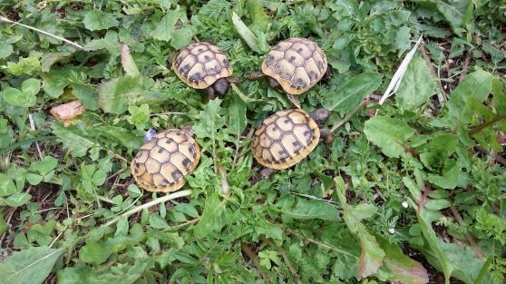 Annonce occasion, vente ou achat 'bébés tortues de terre nées en 2018'