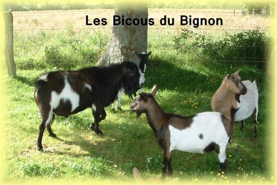chèvres mini naines sans corne