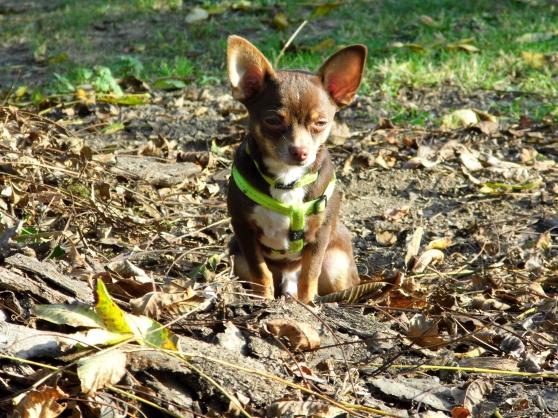 Étalon Chihuahua testé pour saillie