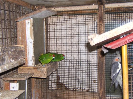 oiseaux perruches kakarikis