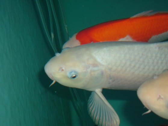 Carpe koi import japon soragoi 43cm animaux poissons for Achat carpe koi occasion