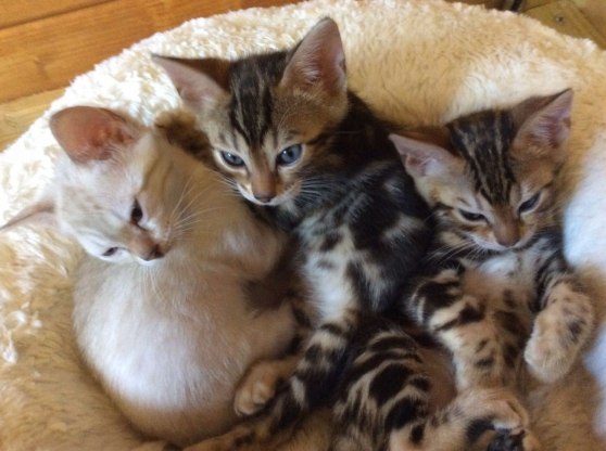 2 Chatons Bengal Disponible
