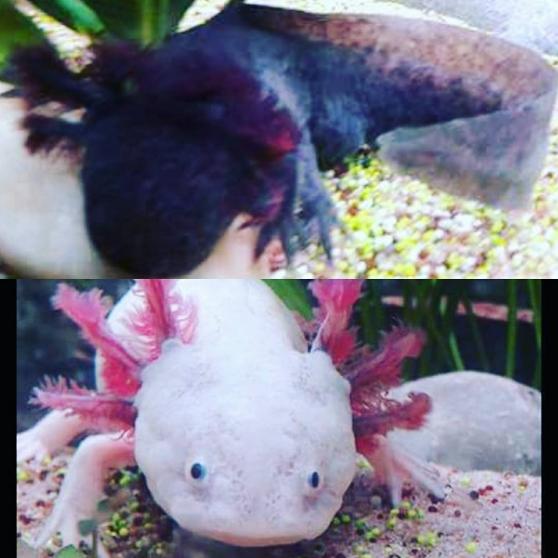 vends couple adulte axolotls avec ou sa