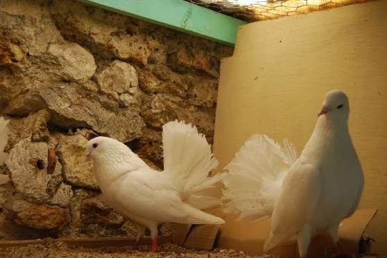 a vendre couple de pigeon pean blanc