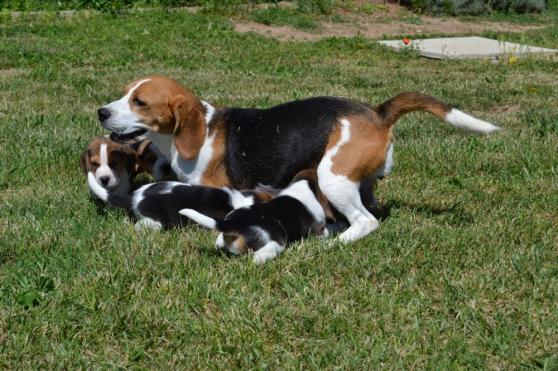 Chiots Beagle lof