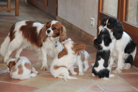 Annonce occasion, vente ou achat 'Chiots cavalier king charles inscrit lof'