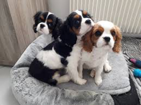 Annonce occasion, vente ou achat 'Superbes cavalier king charles lof'
