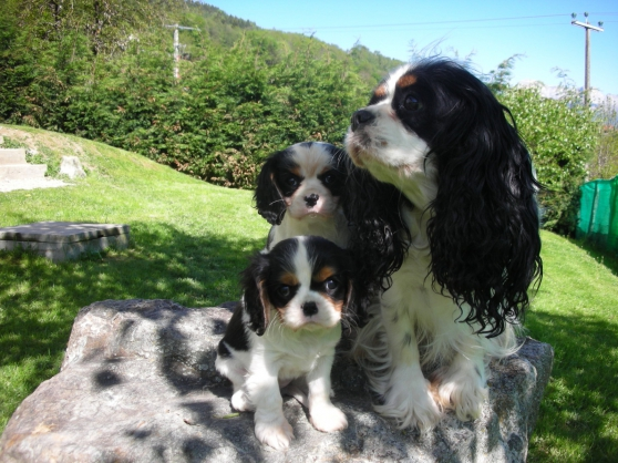 Annonce occasion, vente ou achat 'Sublimes cavalier king charles lof'
