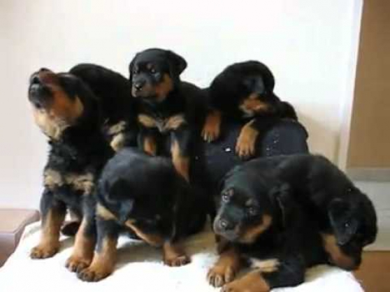Annonce occasion, vente ou achat 'Chiots rottweiler'