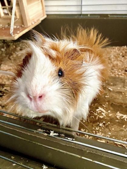 Cochon d'Inde mâle 8 mois