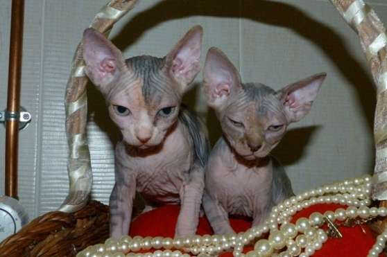 chatons males et femelles sphynx au loo
