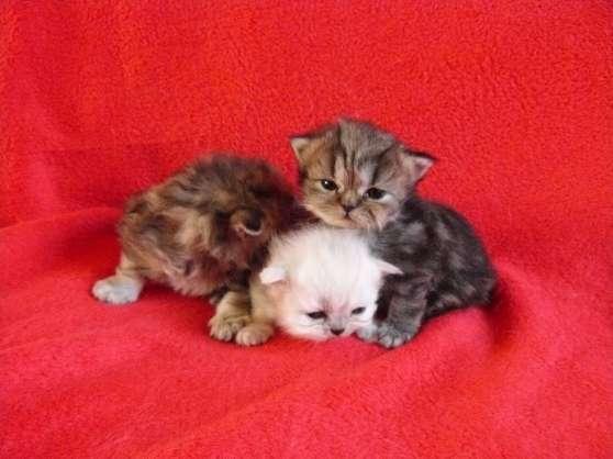 bebes persan chinchilla silver et golden