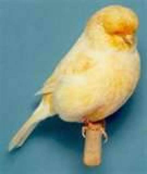 canaris de beaut e norwich vendre gisors animaux oiseaux gisors reference ani ois can. Black Bedroom Furniture Sets. Home Design Ideas