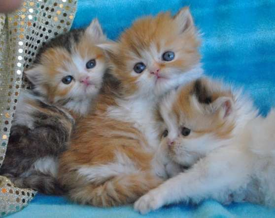Adorables chatons persans