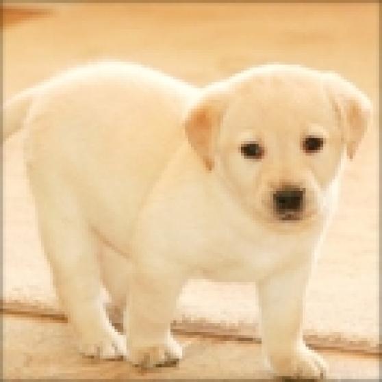 Labrador Chiots A Donner Marche Fr