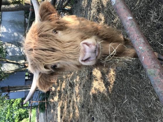 Highland Cattle de 2 ans