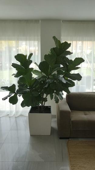 Annonce occasion, vente ou achat 'Splendide Figuier Lyre (Ficus Lyrata)'