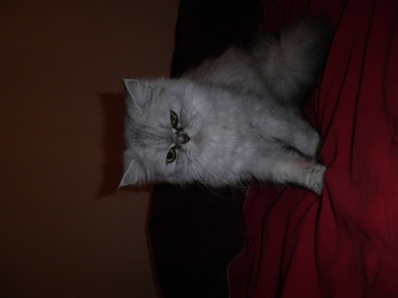 Chatte race persan LOOF 7 ans