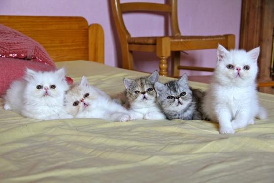 4 superbe chaton Persan