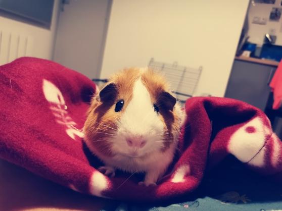 Don de cochon dinde - Photo 2
