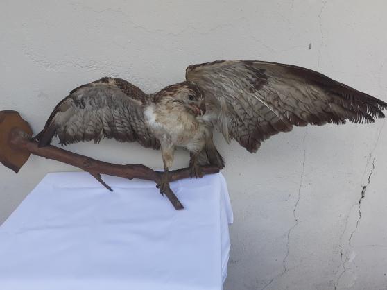 Annonce occasion, vente ou achat 'Oiseaux naturalisé'