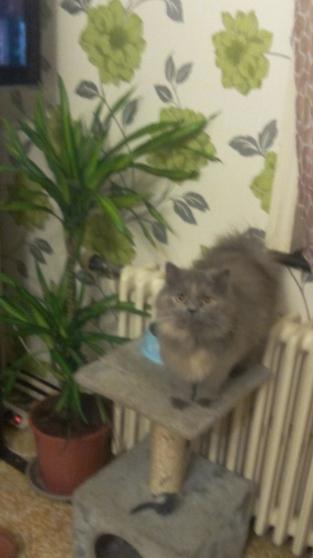 chat persan femelle avec tout urgent