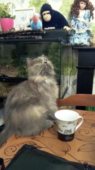 chat persan femelle avec tout urgent - Photo 2