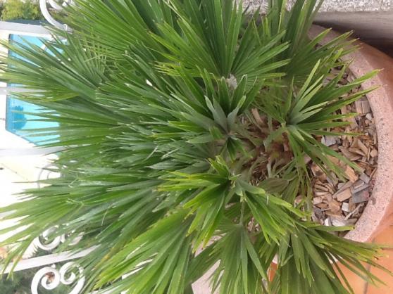 Palmiers nains