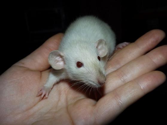 A adopter bébés rats ratons dumbo /rex /