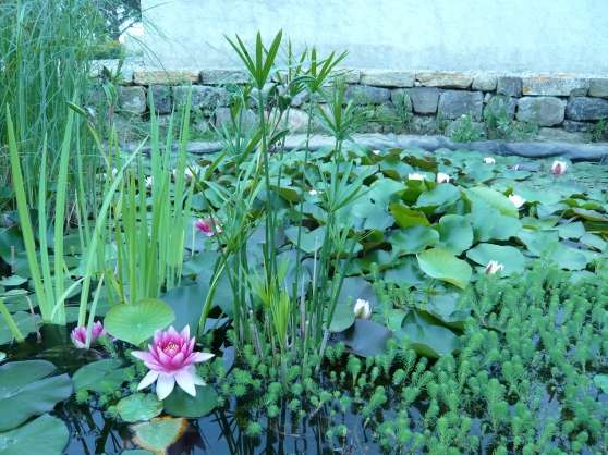 Plantes bassin et aquarium jardin nature plantes for Achat plante bassin