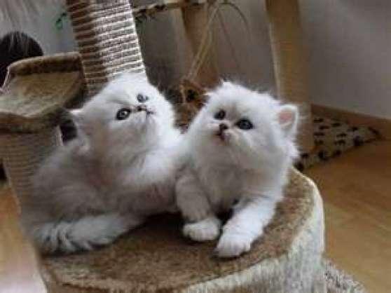 deux magnifiques bébés persans chinchill