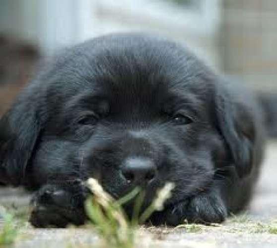 Magnifique Chiot Labrador Noir A Adopter Marche Fr
