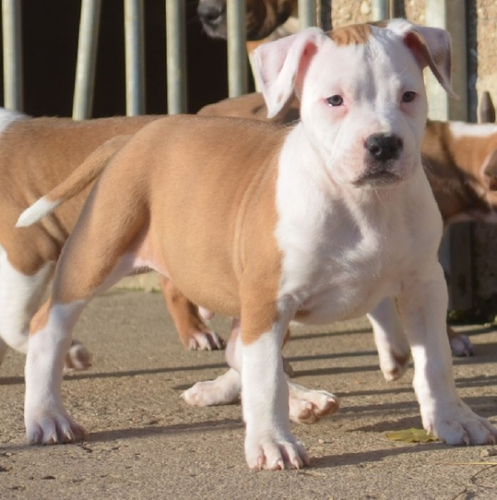 Annonce occasion, vente ou achat 'Chiot American Staffordshire Terrier Dis'