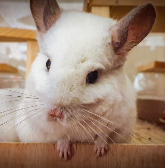 Annonce occasion, vente ou achat 'Vend Chinchilla femelle White Wilson'