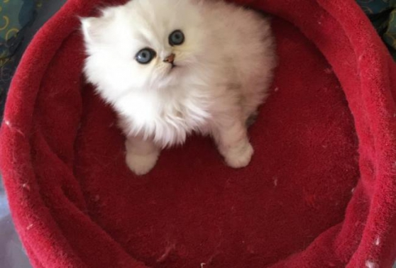 Annonce occasion, vente ou achat 'Chatons persan'