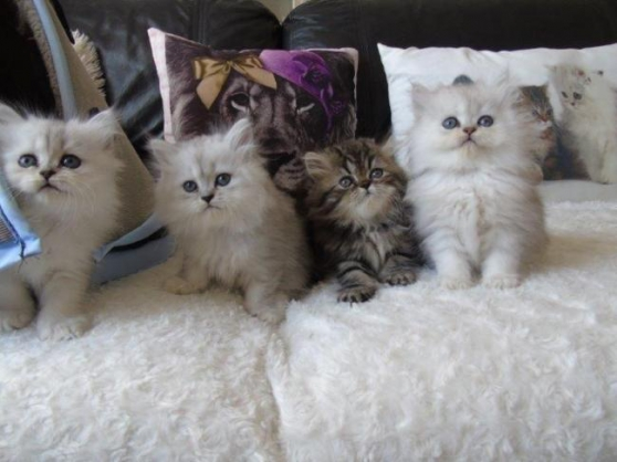 Annonce occasion, vente ou achat 'Chatons persan loof'