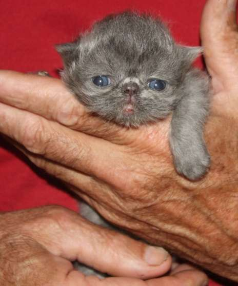 a reserver chatons type persan